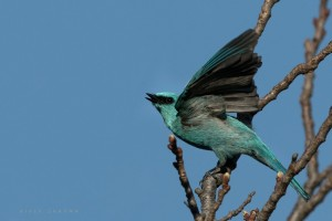 Verditer Flycatcher in Flight